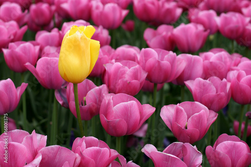 Poster Rose Tulips