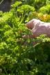 Cueillette d'un bouquet de persil dans le potager