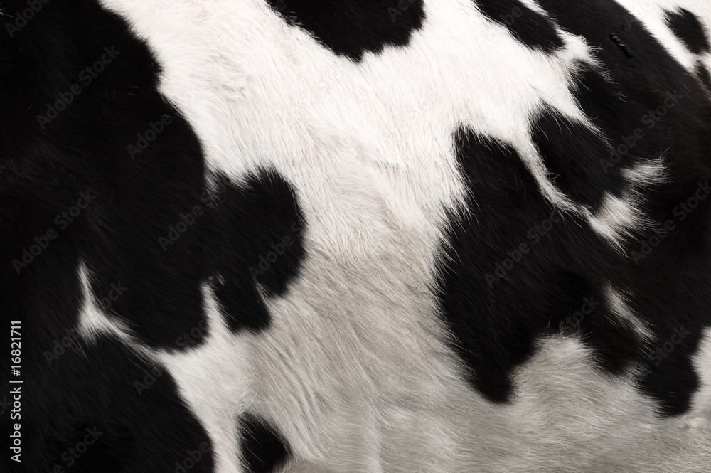 Fototapeta Cow hide print