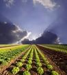 canvas print picture - Salatfeld