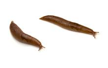 Two Slugs Isolated