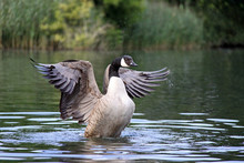 Canada / Canadian Goose Stretching Wings On A River