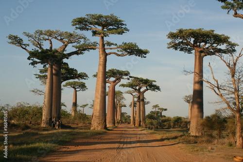 Tableau sur Toile Allée des Baobabs