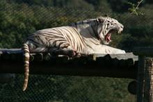 White Tiger Yawn