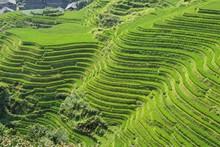 LongJi Rice Terraces (Guangxi Province, China) In Late Summer