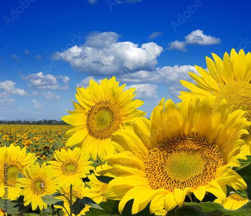 Fotobehang Meloen Some yellow sunflowers against a wide field and the blue sky