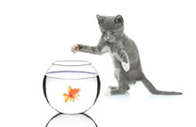 Cat Chasing A Fish In A Bowl Isolated On White Background