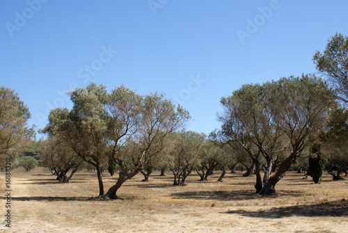 Photo sur Aluminium Oliviers oliviers