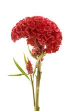 Single Cockscomb Flower