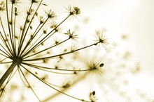 Hogweed Seedhead With Shallow Focus And Sepia Tones