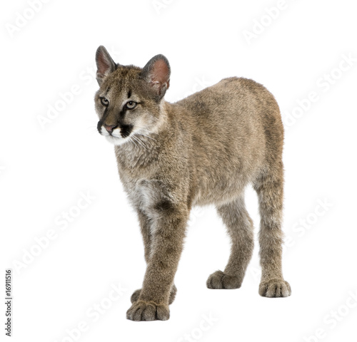 Spoed Fotobehang Puma Puma cub, in front of a white background