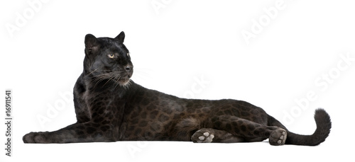 Photo  Black Leopard, 6 years old, in front of a white background