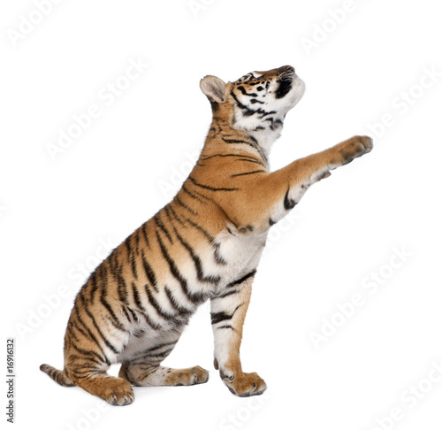 In de dag Tijger Bengal Tiger, reaching in front of white background, studio shot