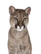 Portrait Of Puma Cub, Against ...