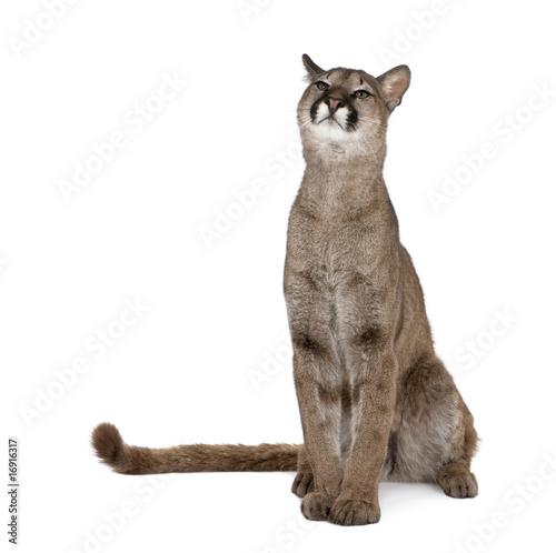 Poster Puma Portrait of Puma cub, sitting against white background