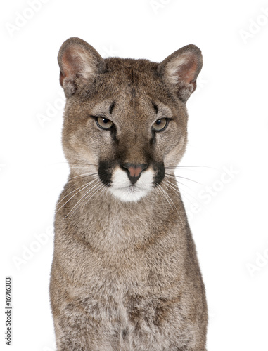 Poster Puma Portrait of Puma cub, against white background, studio shot
