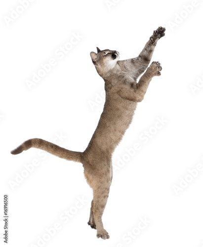 Poster Puma Puma cub, reaching against white background, studio shot