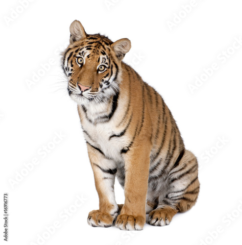 Foto auf AluDibond Tiger Bengal Tiger, sitting in front of white background, studio shot