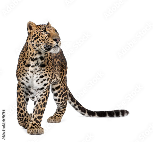 Leopard Leopard, walking and looking up against white background