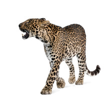 Leopard, Walking And Snarling ...