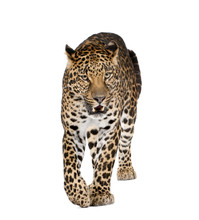 Leopard Walking And Snarling Against White Background