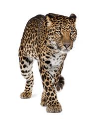 Fototapeta Leopard walking against white background, studio shot