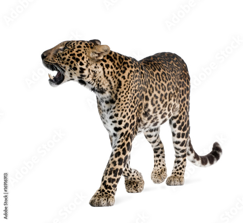 Poster Luipaard Leopard, walking and snarling against white background