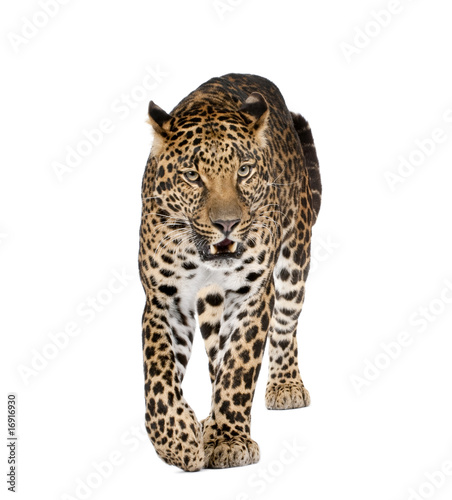 Poster Leopard Leopard walking and snarling against white background