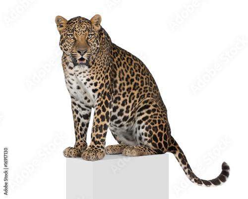 Poster Leopard Leopard on pedestal against white background, studio shot