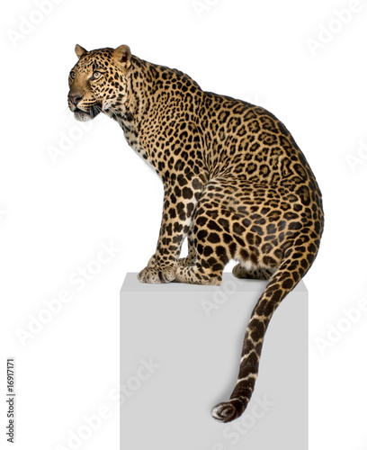 Photo Stands Leopard Portrait of leopard on pedestal against white background