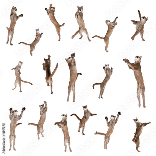 Poster Puma Multiple Pumas jumping in air against white background