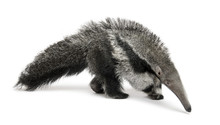 Young Giant Anteater, Walking In Front Of White Background