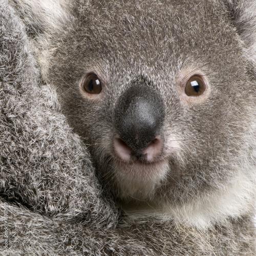 Garden Poster Koala Close-up of Koala bear, Phascolarctos cinereus, 9 months old