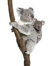 Koala Bears Climbing Tree, In ...