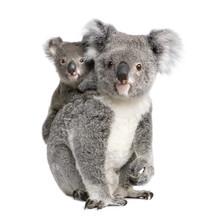 Portrait Of Koala Bears,  In F...