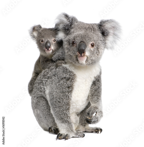 Foto op Canvas Koala Portrait of Koala bears, in front of white background