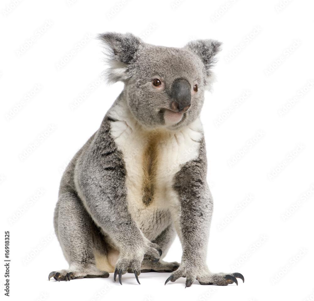 Portrait of male Koala bear, in front of white background
