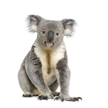 Portrait Of Male Koala Bear, I...