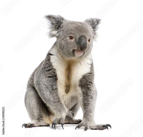 Garden Poster Koala Portrait of male Koala bear, in front of white background