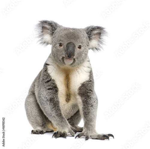 Poster Koala Portrait of male Koala bear, in front of white background