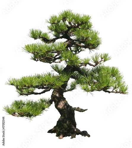 Wall Murals Bonsai Bonsai Tree