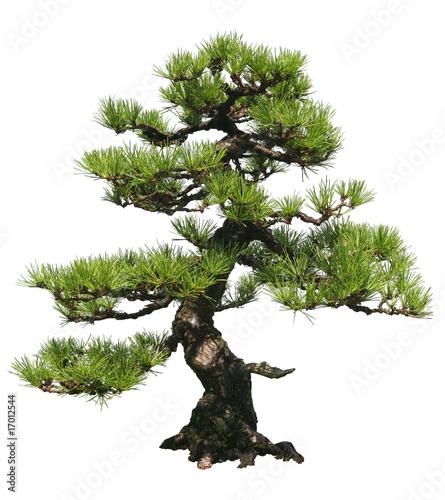 Foto op Plexiglas Bonsai Bonsai Tree