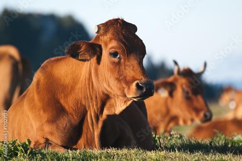 Poster de jardin Vache vache tarentaise