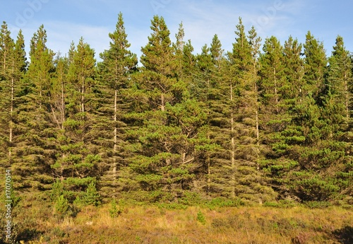 Valokuva  Conifer plantation on the Isle of Skye