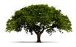 canvas print picture - un arbre avec feuilles vertes - isolé sur blanc avec ombre