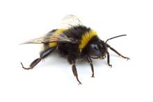 Crawling Bumblebee