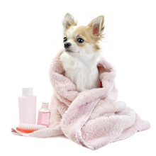 Sweet Chihuahua With Spa Accessories