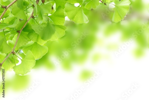 Photo  ginkgo leaves