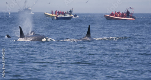People in Boats watching Killer Whales