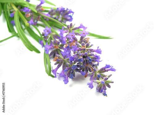 Garden Poster Lavender lavender on white